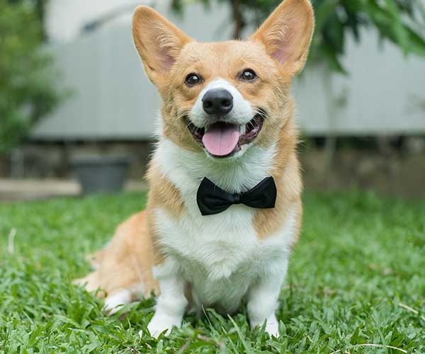 Dog in tux