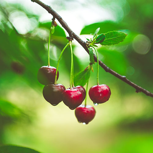 Cherries on a tree.